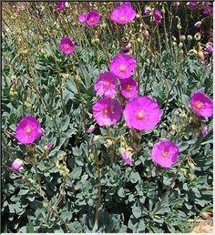 Calandrinia spectabilis   enviroscapela.com