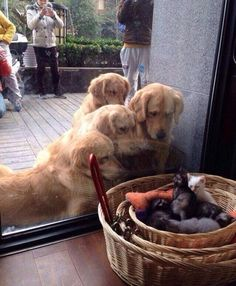When this family was STUNNED by the cuteness of little kittens. | 37 Times Golden Retrievers Proved They're Sunshine Dogs