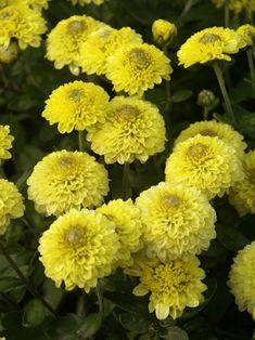 Mum Little One -- Bluestone Perennials Fall Flowers, Yellow Flowers, Yellow Chrysanthemum, Overwintering, Wonderful Flowers, Flowers Perennials, Autumn Garden, Flower Wallpaper, Clematis
