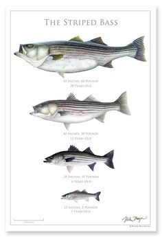 The Striped Bass Poster - Freshen up your knowledge of this New England iconic gamefish. Features accurate length and weight - Bass Fishing Tips, Best Fishing, Fishing Lures, Fishing Boats, Fishing Stuff, Crappie Fishing, Surf Fishing, Fishing Basics, Ice Fishing