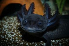 Black Axolotols
