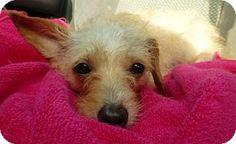 Cedar Creek, TX - Terrier (Unknown Type, Medium) Mix. Meet Gossip, a dog for adoption. http://www.adoptapet.com/pet/12868322-cedar-creek-texas-terrier-unknown-type-medium-mix