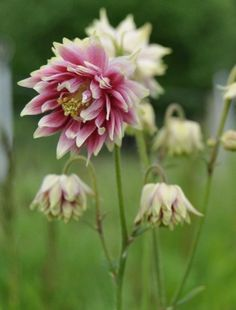 Aquilegia Nora Barlow - Columbine or Granny's Bonnet Dream Garden, Garden Art, Garden Plants, Garden Ideas, Claire Austin, Bulbs And Seeds, Columbine Flower, Herbaceous Perennials, Fauna