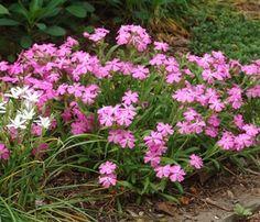 Silene caroliniana var. wherryi 'Short and Sweet' Common: Wild pinks
