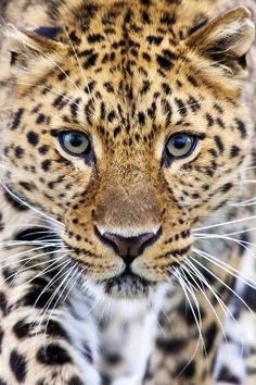 Amur Leopard by Big Cat Photography by mamie
