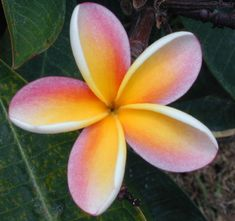 'Nebels Rainbow' plumeria from Paradiso Tropic Nursery sold for $34.95.  http://paradisotropic.com