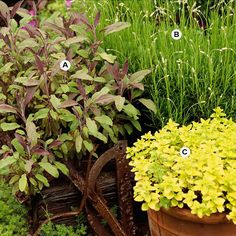 Add Sensory Appeal Add an extra dimension to your container gardens with fragrance. Here, a collection of herbs look as good as they smell. A. Purple sage (Salvia officinalis 'Purpurea') -- 2 B. Lavender (Lavandula officinalis) -- 3 C. Golden marjoram (Origanum vulgare 'Aureum') -- 2