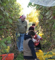 Tending the vines is a community activity