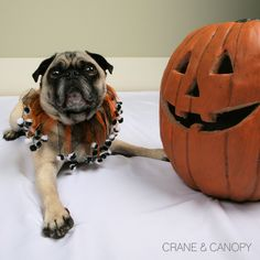 A jester pug for Halloween!