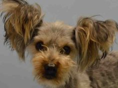 6/25 RTO GODZILLA A104878 family surr then had money for bail but not enough to take him to the vet?  While I am ecstatic I worry for his safety w/family who would do this-6/21/15 SUPER URG GODZILLA  NEUT MLE GRAY/TAN YORKIE MIX 1.6YO  SUR–EVAL, NO HOLDPET HEALTH In condition ILL In 6/20/15 Out 6/20 just a sick  Baby normally stick w/seniors but you & those ears twanged my heart strings. Owner tossed you didn't even lie to say Stray for extra days SHARED someone has got to be out there for…