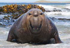 This Southern elephant seal is showing the camera his good side as he flashes his gnashers at the photographer
