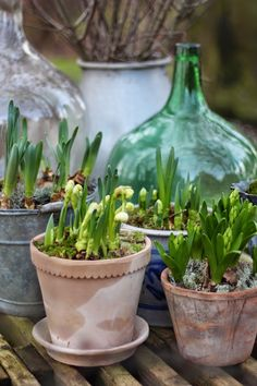 Planted 15 pots in bulbs round patio. Freesias and ranunculus still going strong. Hyacinth bloomed with Pygmy daffs all of April. Brilliant way to welcome spring.