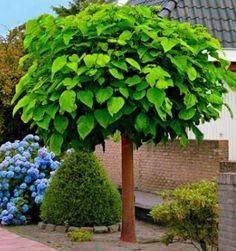Kugel Trompetenbaum Der Schönste Baum Für Den Vorgarten Home