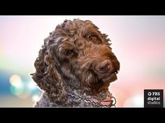 Do Dogs Really Miss Us? Do dogs understand what it means to miss someone? By: Brain Craft. BrainCraft behind-the-scenes ft. Luna A behind-the-scenes view of Luna the Labradoodle's BrainCraft debut. By: Vanessa Hill.
