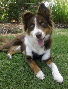 Colin ~ 8 month old male Border Collie X ~ adopted 8.12.2016
