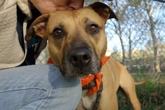 ♦ KILLED 10-16-2016 ♦ PRECIOUS GIRL DISCARDED FOR BEING TOO STRONG – TO BE KILLED – CHEVY (A1092564) is 4-year-old SPAYED girl and she was a gift to the owner 2 months ago. The reason for surrender to Manhattan Center is the owner cannot handle Chevy. She is super friendly with kids, house trained, affectionate & playful. She loves kisses & she's wagging her tail at all dogs. ♥ CHEVY IS AN ABSOLUTE DELIGHT, READY TO FIND A NEW FAMILY TO LOVE & PLAY ♥…