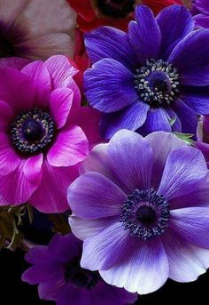 Anemone flowers are in bloom right now. Pink And Purple Flowers, All Things Purple, Purple Dahlia, Lavender Flowers, Colorful Flowers, Pink Roses, Flower Colors, Jewel Colors, Blue Colors
