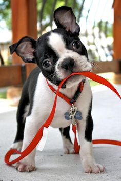 Bowser the Boston Terrier puppy - too cute