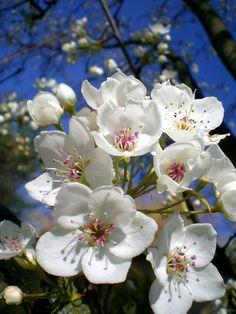 Pear blossom Cherry Blossom Japan, Pear Blossom, Almond Blossom, Blossom Trees, Spring Blossom, Blossom Flower, Flower Art, Blooming Trees, Flowering Trees