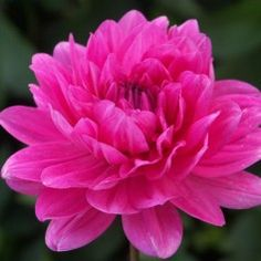 Waterlily Dahlia Rothesay Rose