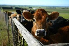 cows love them