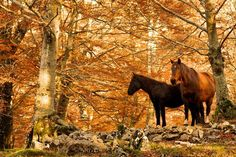 Wild horses in a beautiful Autumn woods Italy Landscape, Landscape Photos, Fall Background, Wild Horses, Show Horses, Tolkien, Countryside, Like4like, Abstract