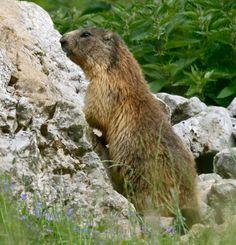 una piccola Marmotta sta raggiungendo cima Paganella!!
