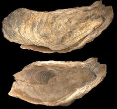 Fosiles ostrea