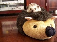 Finally, here is a picture of a hedgehog in a slipper that is also a hedgehog, for Christ's sake. And you're still seriously thinking about voting for a politician in November? May God help us all.