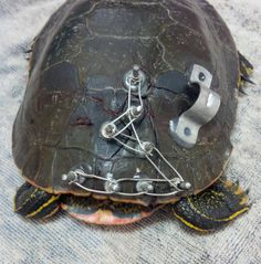 Turtle's broken shell held together with wires, pins and glue - Yahoo News Canada