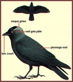 Le choucas des tours | Choucas Des Tours, Birds, Paradise, Animals, Gray Eyes, Animales, Animaux, Bird, Animal