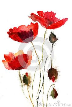 Vintage botanical illustration poppy | Red Poppy Flowers Stock Photography - Image: 24773632