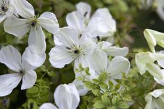 Clematis 'Zomacor'