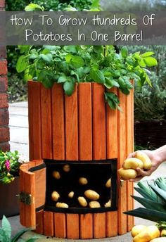 Place your ad here Loading... Want to grow potatoes this year? Lots of them in one barrel? Well, Timothy Hurst shares his simple 4-step method to do just that. You can even plant a mixed variety of potatoes so your crop will be diverse. Tim's method saves any gardener space and time. The first step, asserts …