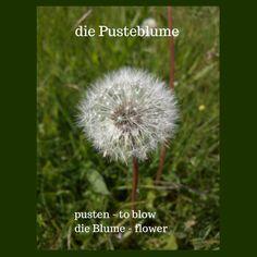 die Pusteblume - dandelion German Resources, German Words, Learn German, Vocabulary, Infographic, Germany, Learning, Flowers, Plants
