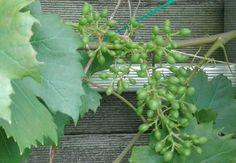 """Witte druif, Vitis Vinifera """"Witte van der Laan""""; juni '17"""