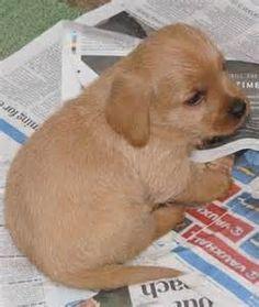 ... Dogs Bassett fauve de Bretagne Basset Fauve De Bretagne Puppies Kc Reg