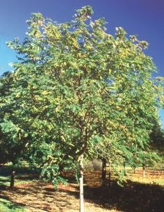 Sester Farms Purple Robe Locust Latin Name: Robinia pseudoacacia 'Purple Robe' Wholesale Tree Nursery