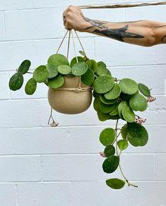 Hanging Plants, Indoor Plants, Hoya Obovata, Hoya Plants, Decoration Plante, Cactus Y Suculentas, Plantation, Cacti And Succulents, Growing Plants