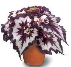 Begonia 'China Curl' (Begonia rex hybrid)