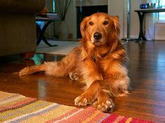 10 Most Popular Dog Breeds In The Philippines Golden Retriever