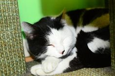 3/2017sl  11/2015 Meet Fruitloop, a Petfinder adoptable Domestic Short Hair Cat | Suwanee, GA | Petfinder.com is the world's largest database of adoptable pets and pet care information....