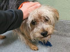 TO BE DESTROYED 01/10/17 *2YRS OLD* THEODORE.  A1100683.-RESCUE ONLY-  I am a male black and tan yorkshire terr mix. The shelter thinks I am about 2 YEARS old.  I came in the shelter as a STRAY