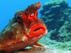 This is the rosy-lipped batfish (Ogcocephalus porrectus), the closest relative of the red-lipped batfish. They both look very similar.  #weird #lipstick #fish