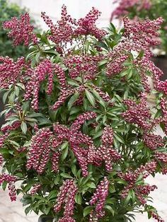 """Arching red 6"""" blooms crowned in white offer a new color for Pieris, draping gracefully over glossy dark green foliage in the spring. Fall fruit is accentuated by the superior branching habit of this evergreen, very deer resistant shrub. Brings life to the landscape of winter. Patented.     Features to Note:   Evergreen,Deer Resistant,OK in containers - see FAQ for overwintering,Blooms for 4 weeks or more"""