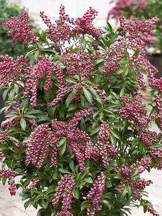 Pieris japonica Passion   Great plant for large pots.