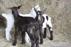 Baby goats at Woodcrest Farm. Baby Goats, Farmhouse, Animals, Animales, Animaux, Animal, Animais, Cottage, Plantation Homes