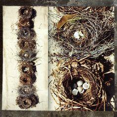 Australian Swallow nests