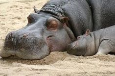 baby hippo and his mama enjoying a nap