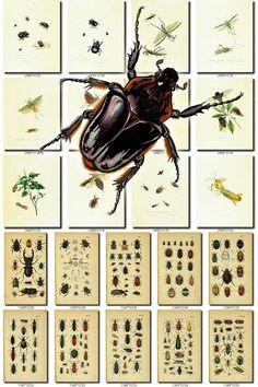INSECTS-77 Collection of 272 vintage illustration Grasshopper Abax, Acalles, Acalyptus, Acilius, Aesalus, Aeshna, Agasta, Agonum, Agrion, Agyrtes, Aleochora, Aleuchus, Alophus, Alucita, Amara, Ametalla, Anaspis, Anchomenus, Anisoplia, Anobium, Anomala, Antherophagus, Anthicus, Anthonomus, Anthophagus, Anthrenus, Anthribus, Apalus, Apate, Aphodius, Apion, Apteroessa, Aspidiphorus, Astynomus, Attagenus, Attelabus, Badister, Balaninus, Baridius, Barynotus, Belo